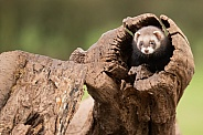 Female European Polecat