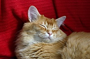 Beautiful male ginger cat