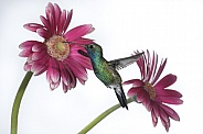 Broad-billed Hummingbird (wild male) & Gerber Daisy