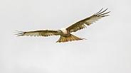 Leucistic Red Kite in Flight