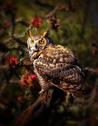 Great Horned Owl on Branch with Cholla Blossoms