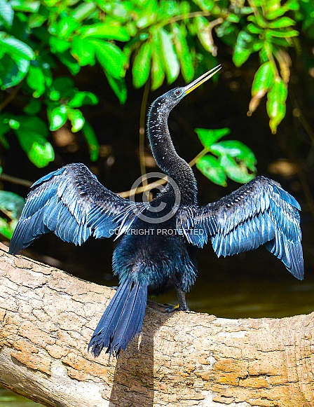 Anhinga Water Bird