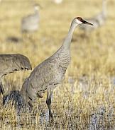 Sandhill crane standing in the tall grass