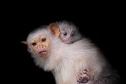 Silvery Marmoset Family