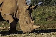 White Rhino close up