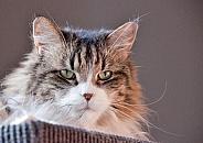 Siberian Forrest Cat