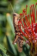 Garden Locust (Acanthacris ruficornis)