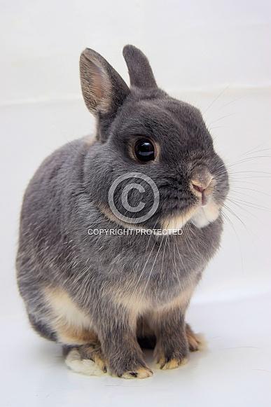 Netherland Dwarf Rabbit