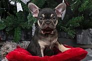Black and Tan French Bulldog Puppy