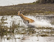 Red Lechwe running from danger - Botswana