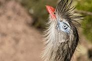 Red Legged Seriema Bird Face Shot Looking Upwards