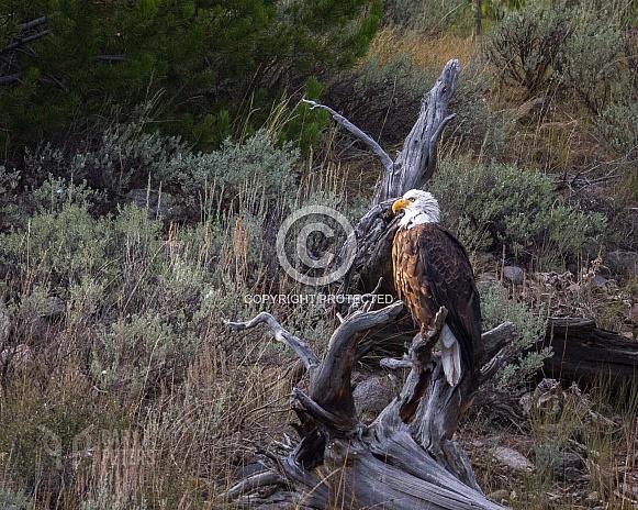 Bald Eagle on Tree Stump