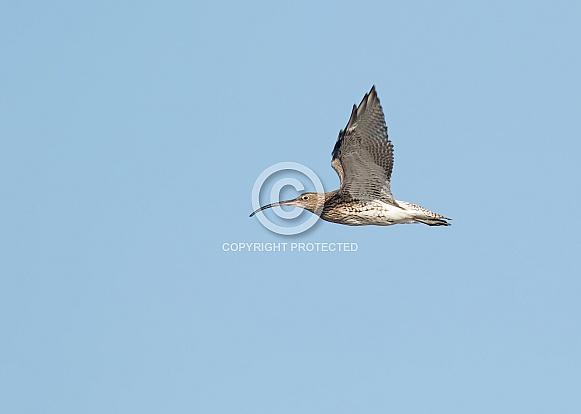 Curlew in Flight