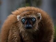 blue-eyed lemur