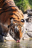 Amur Tiger Drinking