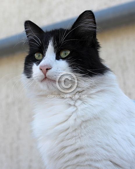Tuxedo Cat Portrait