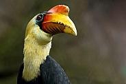 Wrinkled Hornbill
