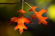 Autumn leaves backlit.
