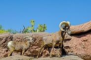 Bighorn Sheep - Ram and Ewe