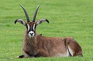 Roan Antelope Lying Down