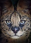 Serval Closeup