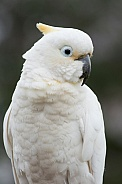 Long-Billed/Sulphur Crested Hybrid (wild).