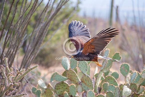 Harris' Hawk Sailing over the Desert