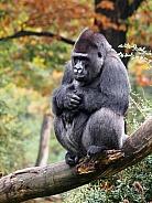 Western lowland gorilla (Gorilla gorilla gorilla)