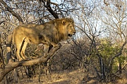 African Lion in a Tree (Male)