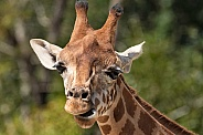 Giraffe Close Up Head Shot