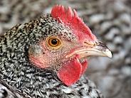 Dutch chicken