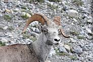 Big Horn Sheep, close up