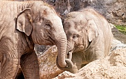 Asian Elephant Calves With Trunks Entwined