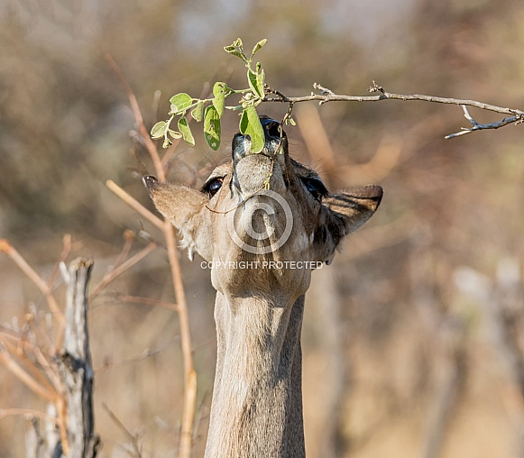 Female Kudu Eating