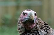 Palm-nut vulture Portrait