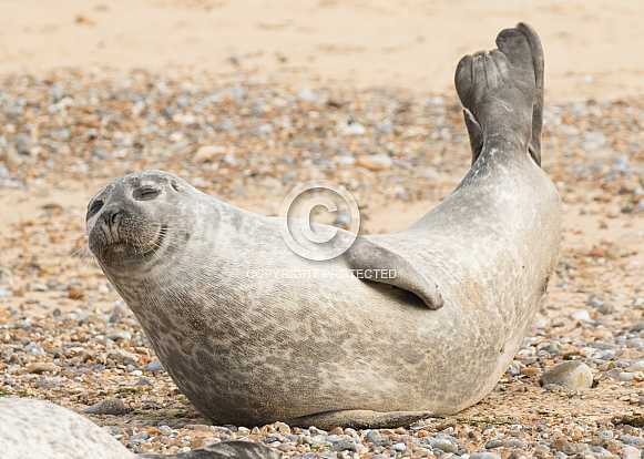 Common Seal Stretching
