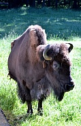 North American Plains Bison