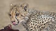 Cheetah cub licking its lips