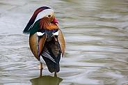 Mandarin Duck Close Up