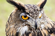Eagle Owl Headshot
