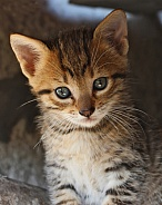 Sparkly Eyes Kitten Portrait