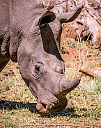 Young White Rhino