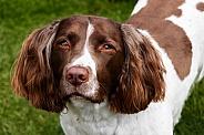 Male Springer Spaniel close up