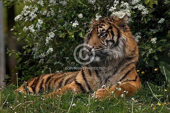Sumatran Tiger Lying In Grass
