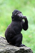 Crested macaque baby