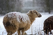 Farming - Livestock in winter snow