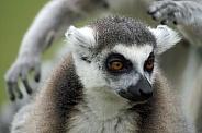 Ring-Tailed Lemur portrait