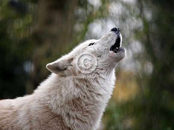 Howling wolf (Canis lupus hudsonicus)