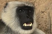 Hanuman Langur Face Shot Teeth Showing