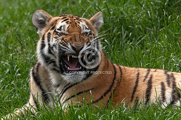 Amur Cub Snarling Lying Down
